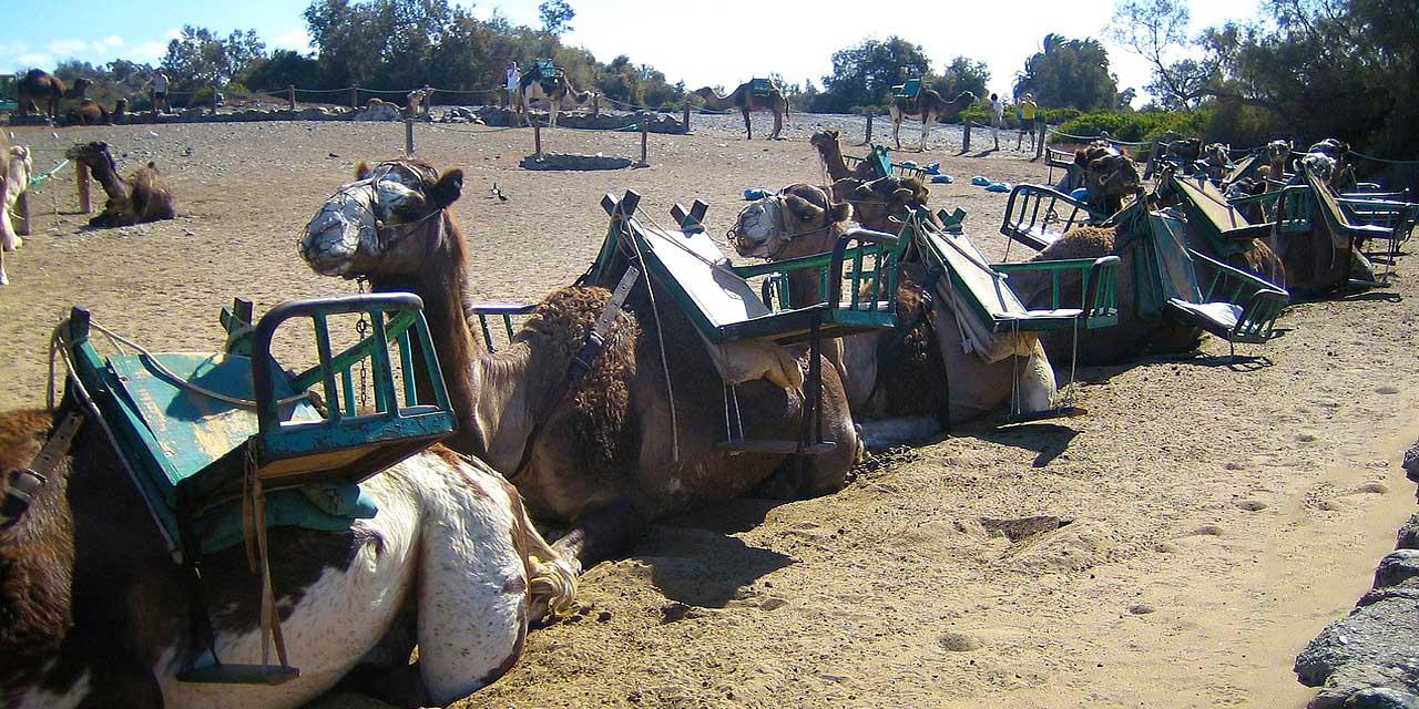 Kamele in Maspalomas